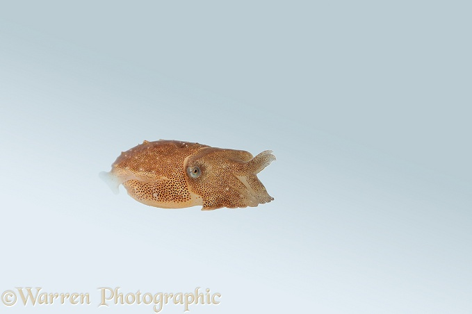 Common Cuttlefish (Sepia officinalis) juvenile, one week after hatching.  North Atlantic