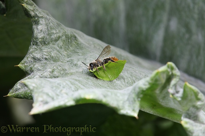 Leaf-cutting Bee (Megachile species) resting with freshly cut leaf section