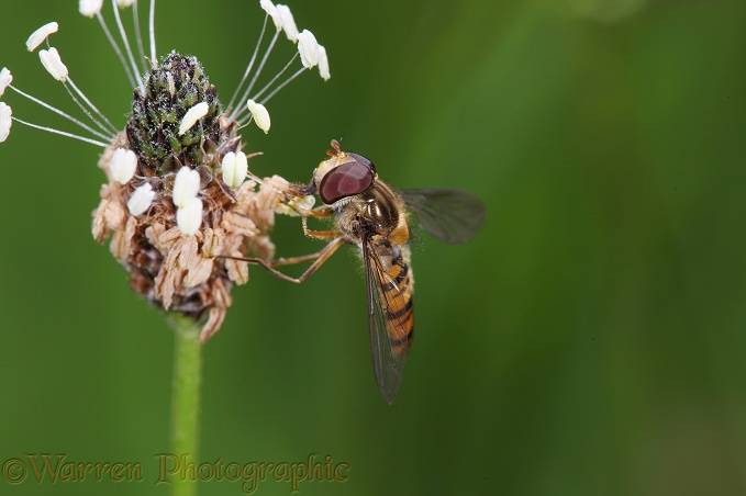 Marmalade Hoverfly (Episyrphus balteatus) on plantain