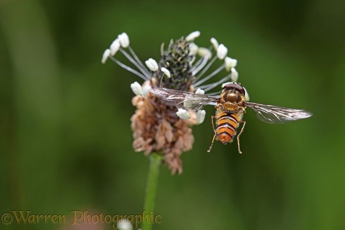 Marmalade Hoverfly (Episyrphus balteatus) alighting on plantain