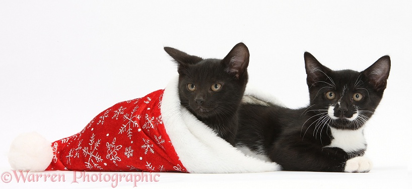 Black and black-and-white kittens, Buxie and Tuxie, 10 weeks old, in a Father Christmas hat, white background