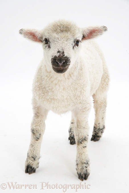 Lamb, standing, white background