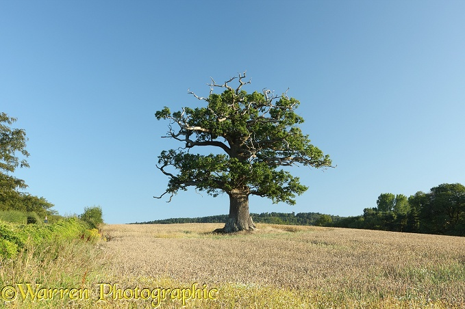 English Oak (Quercus robur) - Summer 2011 (9-8-2011).  Surrey, England
