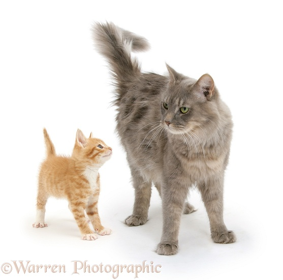 Unrelated Maine Coon cat, Serafin, and ginger kitten, Tom, 7 weeks old, standing together, white background