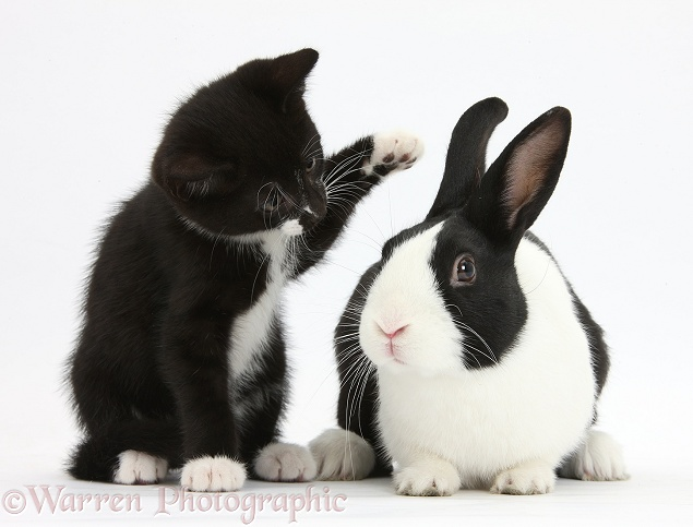 Black-and-white tuxedo male kitten, Tuxie, 8 weeks old, with black-and-white Dutch rabbit, white background