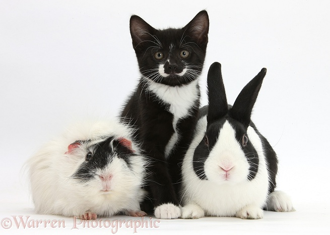 Black-and-white tuxedo male kitten, Tuxie, 8 weeks old, with black Dutch rabbit and black-and-white Guinea pig, white background