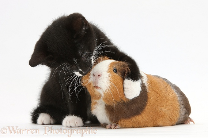 Black-and-white tuxedo male kitten, Tuxie, 9 weeks old, with tricolour Guinea pig, white background