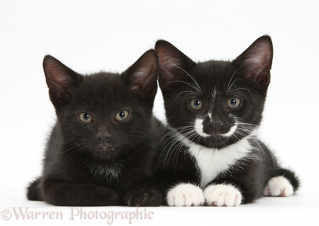Black and black-and-white tuxedo male kittens, Buxie and Tuxie, 9 weeks old, lying with their heads up, white background