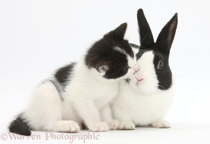 Black-and-white kitten, 6 weeks old, and black-and-white Dutch rabbit, white background
