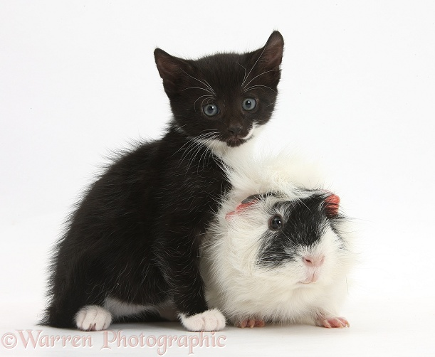 Black-and-white kitten, 8 weeks old, and Guinea pig, white background