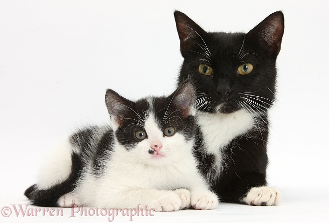 Black-and-white mother cat and kitten, 7 weeks old, white background