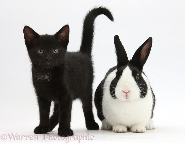 Black male kitten, Buxie, 9 weeks old, and black-and-white Dutch rabbit, white background