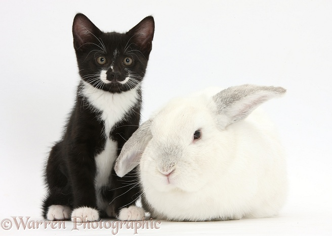 Black-and-white tuxedo male kitten, Tuxie, 8 weeks old, and elderly white rabbit, Foggy, 8 years old, white background