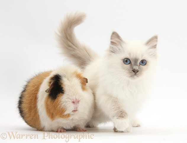 Blue-point kitten and Guinea pig, Gyzmo, white background