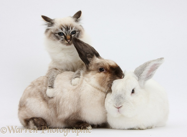 Tabby-point Birman cat and rabbits, white background