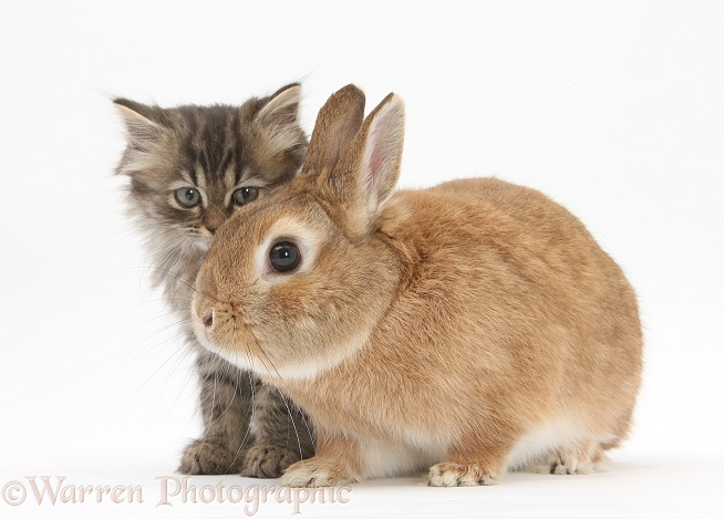 Tabby kitten, Beebee, 10 weeks old, with sandy Netherland-cross rabbit, Peter, white background