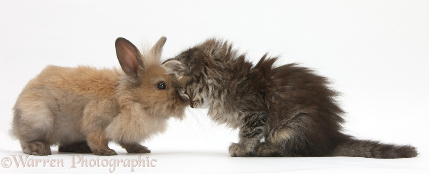 Tabby kitten, Beebee, 10 weeks old, heads together with young rabbit, white background
