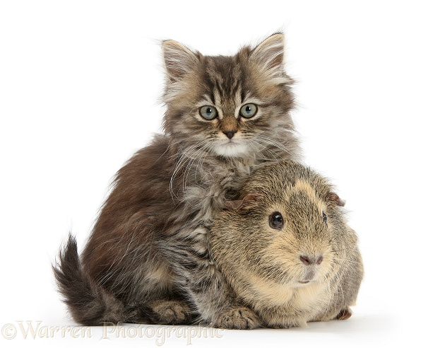 Tabby kitten, Beebee, 10 weeks old, with Guinea pig, white background
