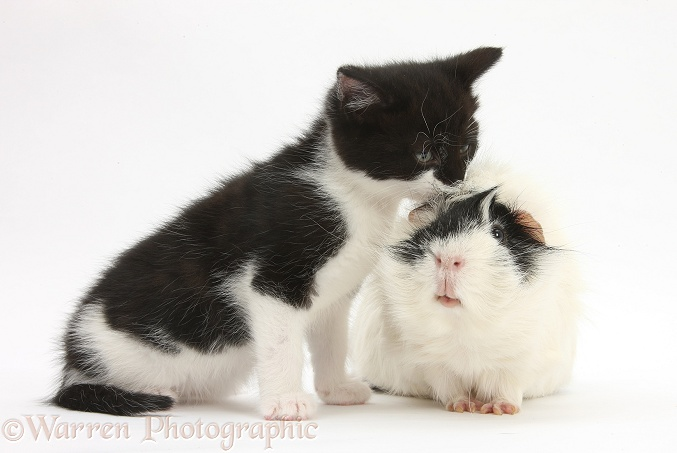 Black-and-white kitten with black-and-white Guinea pig, white background