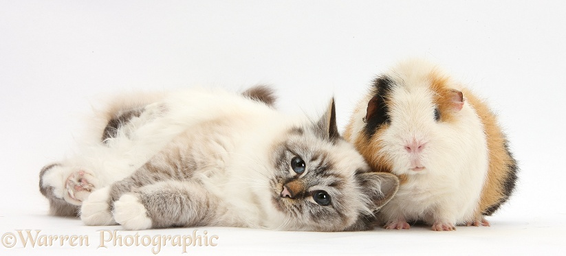Tabby-point Birman cat and Guinea pig, Gyzmo, white background