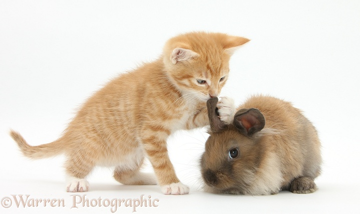 Ginger kitten, Tom, 7 weeks old, and young Lionhead-Lop rabbit, white background