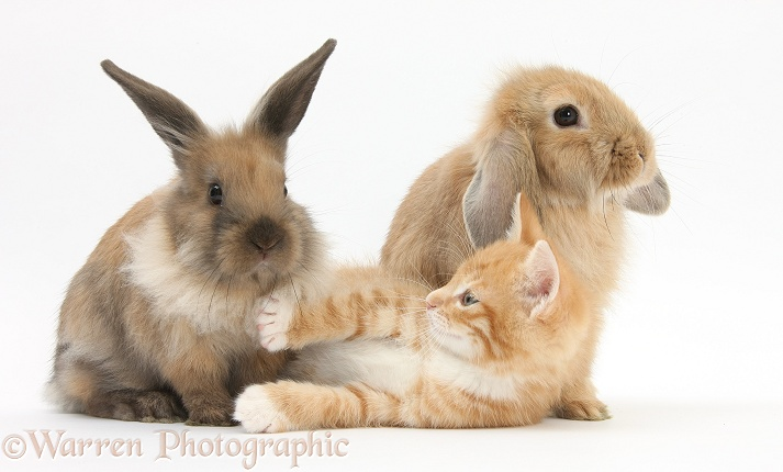 Ginger kitten, Tom, 7 weeks old, and young Lionhead-Lop rabbits, white background