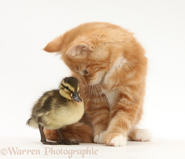 Ginger kitten, Butch, 8 weeks old, and Mallard duckling, white background