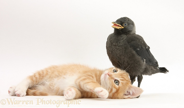 Ginger kitten, Tom, 10 weeks old, and baby Jackdaw (Corvus monedula), white background