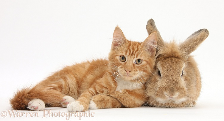 Ginger kitten, Butch, 3 months old, with Sandy Lionhead-cross rabbit, Tedson, white background