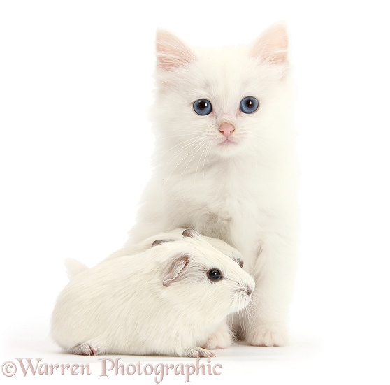 Baby white Guinea pigs and white Maine Coon-cross kitten, white background