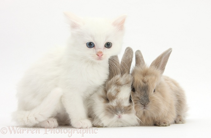 White kitten and baby rabbits, white background