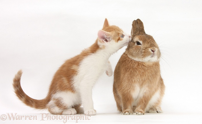 Ginger-and-white kitten and sandy Netherland dwarf-cross rabbit, Peter, white background