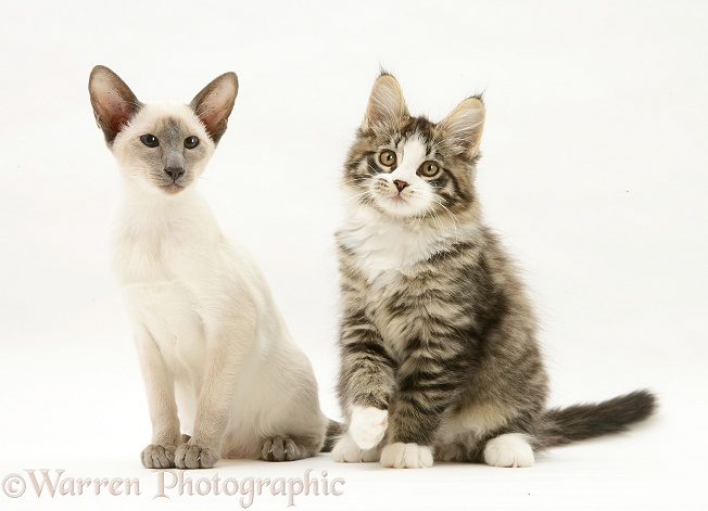 Blue-point Siamese kitten and Maine Coon kitten, white background