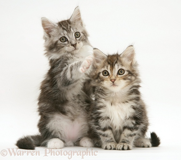 Tabby Maine Coon kittens, white background