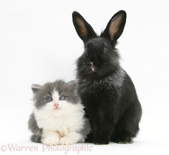Grey-and-white kitten with black Lionhead-cross rabbit, white background
