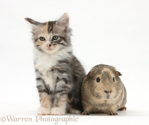 Guinea pig and Maine Coon-cross kitten, 7 weeks old, white background