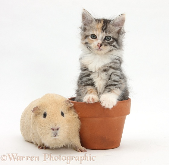 Yellow Guinea pig and tabby tortoiseshell Maine Coon-cross kitten, 7 weeks old, in a flowerpot, white background