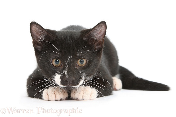 Black-and-white male kitten, Tuxie, 3 months old, intently watching and getting ready to pounce, white background