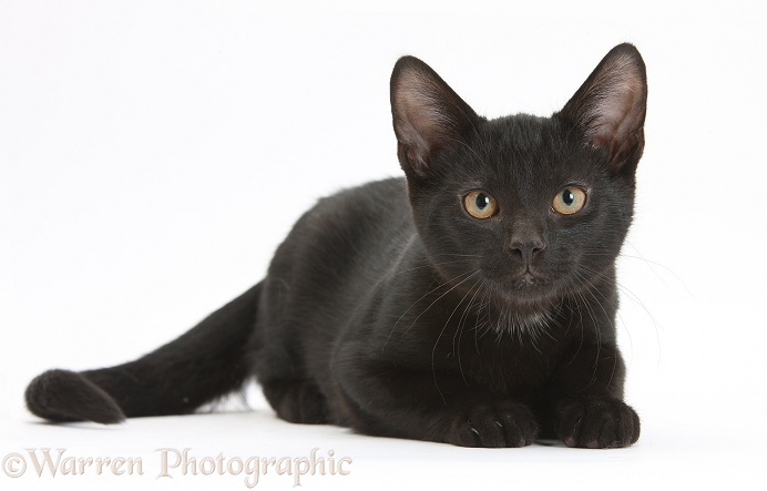 Black male kitten, Buxie, 3 months old, lying with head up, white background