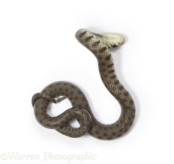 Grass Snake (Natrix natrix) newly hatched shamming dead, white background