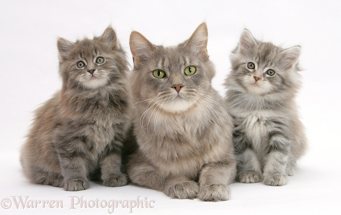 Maine Coon mother cat, Serafin, and two kittens, 7 weeks old, white background