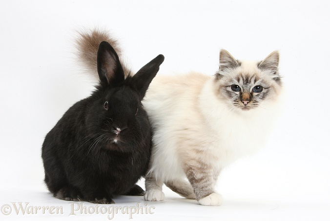 Tabby-point Birman cat and black rabbit, white background