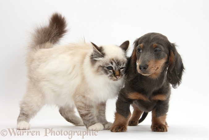 Tabby-point Birman cat with blue-and-tan Dachshund pup, Baloo, 15 weeks old, white background