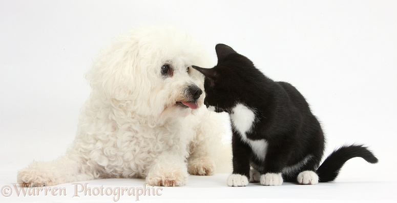 Bichon Frise bitch, Pipa, with black-and-white tuxedo kitten, Tuxie, 10 weeks old, white background