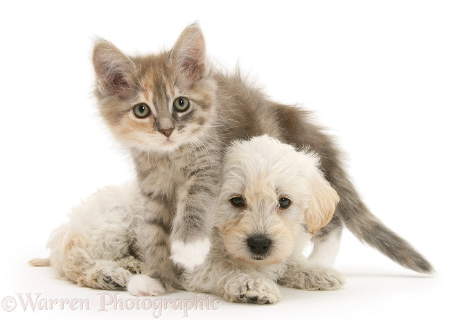 Woodle (West Highland White Terrier x Poodle) pup and Maine Coon kitten, white background