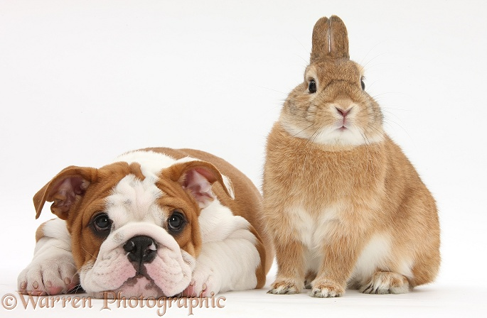 Bulldog pup, 11 weeks old, and Netherland-cross rabbit, Peter, white background