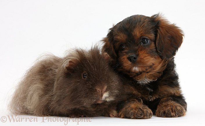 Cavapoo pup and shaggy Guinea pig, white background
