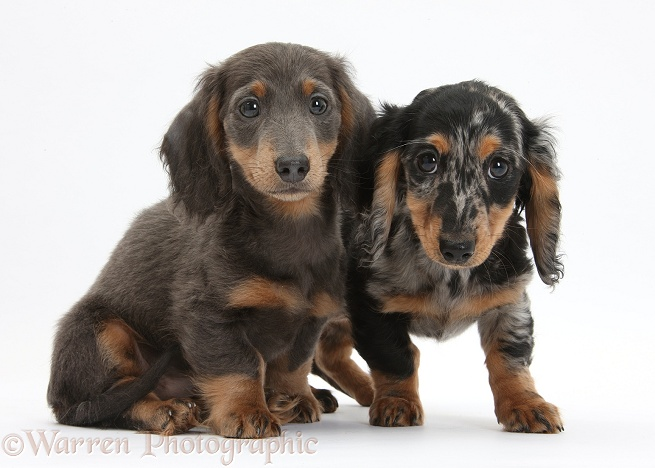 Blue-and-tan Dachshund pup, Baloo, and tricolour merle Dachshund pup, white background