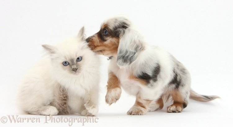 Blue-point kitten and silver double dapple Dachshund pup, Lacy, 8 weeks old, white background