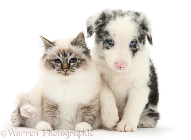 Tabby-point Birman cat and merle Border Collie pup, white background